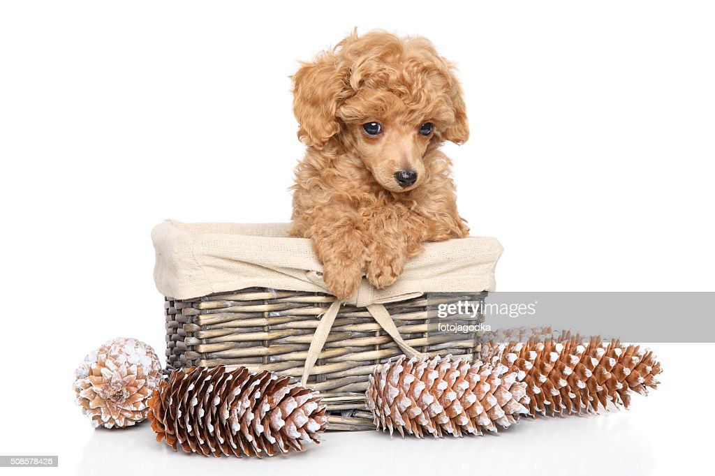 Toy Poodle puppy in basket : Bildbanksbilder