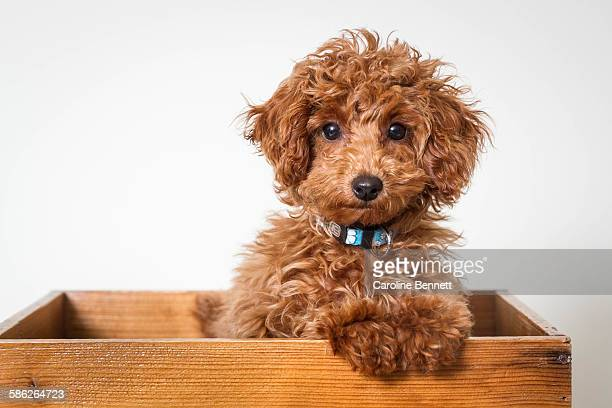 Toy Poodle puppy in box