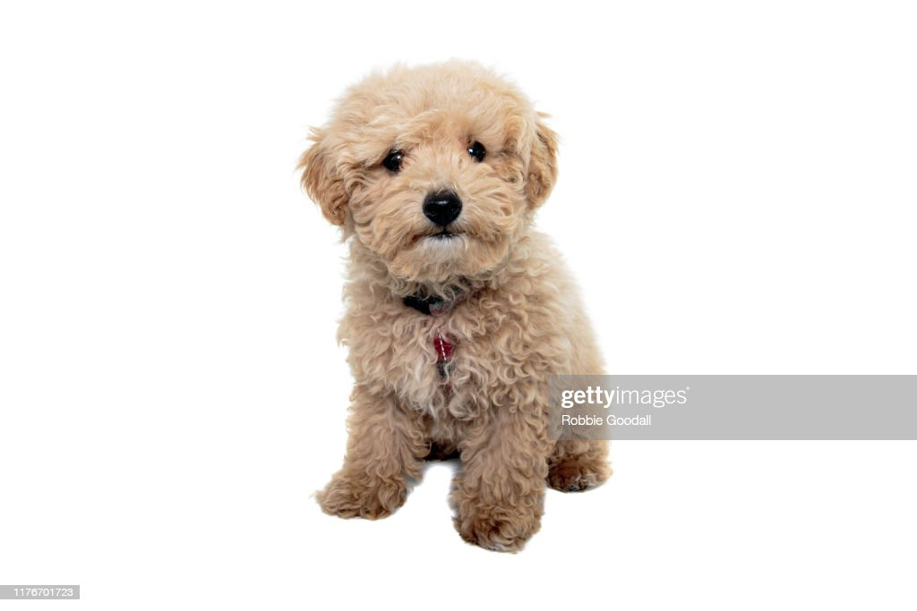 Toy Poodle Puppy Wearing A Red Harness Looking At The Camera On A White Backdrop High Res Stock Photo Getty Images