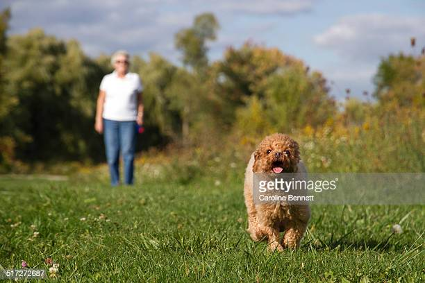 Toy poodle running in field