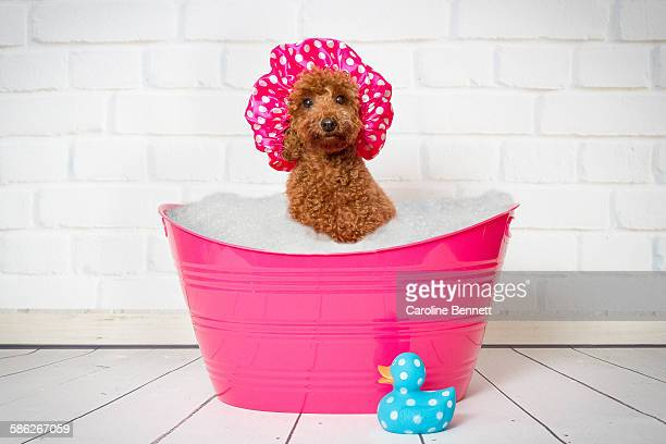 toy poodle sitting in a bath - barboncino toy foto e immagini stock