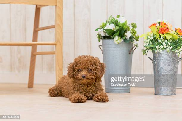Toy Poodle Sitting Near The Galvanized Vases