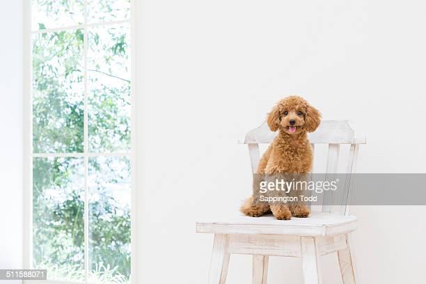 toy poodle sitting on chair - caniche toy photos et images de collection