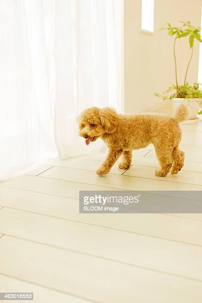 Toy Poodle Walking