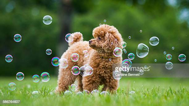 Toy Poodle with bubbles