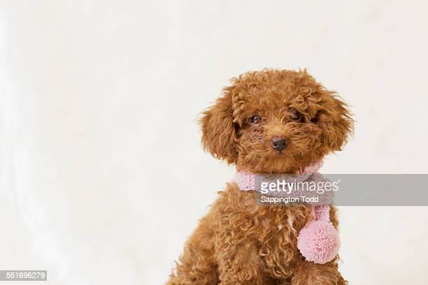 toy poodle with pink woolen scarf - barboncino toy foto e immagini stock