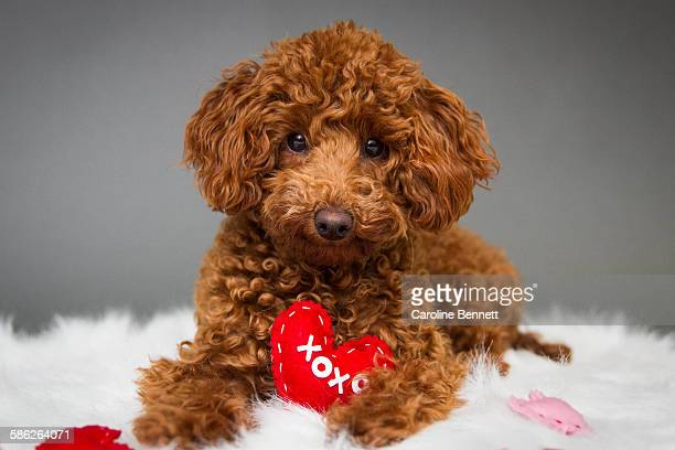 toy poodle with red heart - caniche toy photos et images de collection