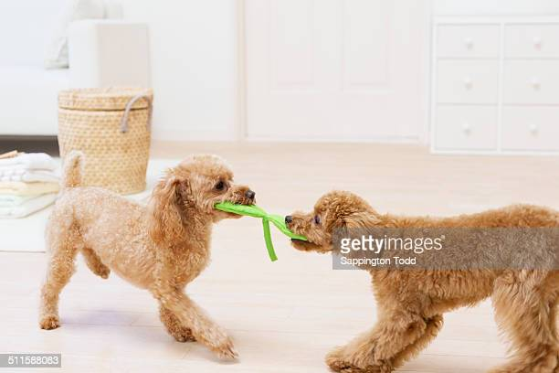 toy poodles fighting for a toy - イヌのおもちゃ ストックフォトと画像
