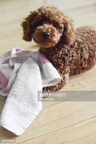 toy puddle puppy caught in the act of palying with towel - miniature poodle stock photos and pictures