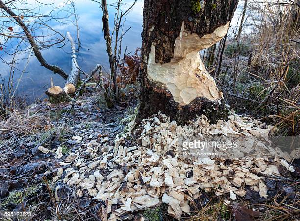 Traces of beaver gnawing on trees