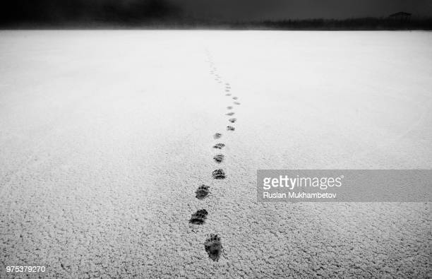 traces - bear tracks stock photos and pictures
