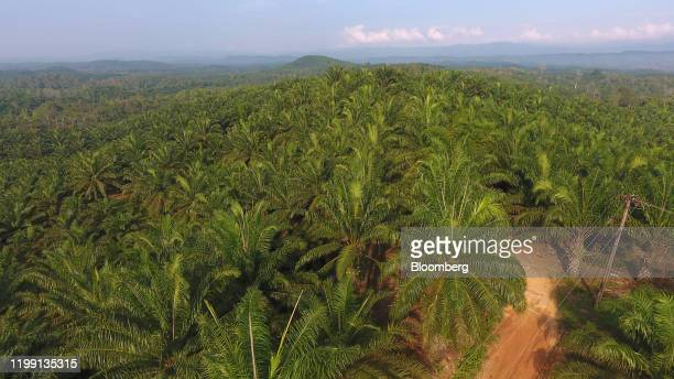 Track cuts through a palm plantation in this aerial photograph taken over the Penajam area of East Kalimantan, Borneo, Indonesia, on Wednesday, Nov....
