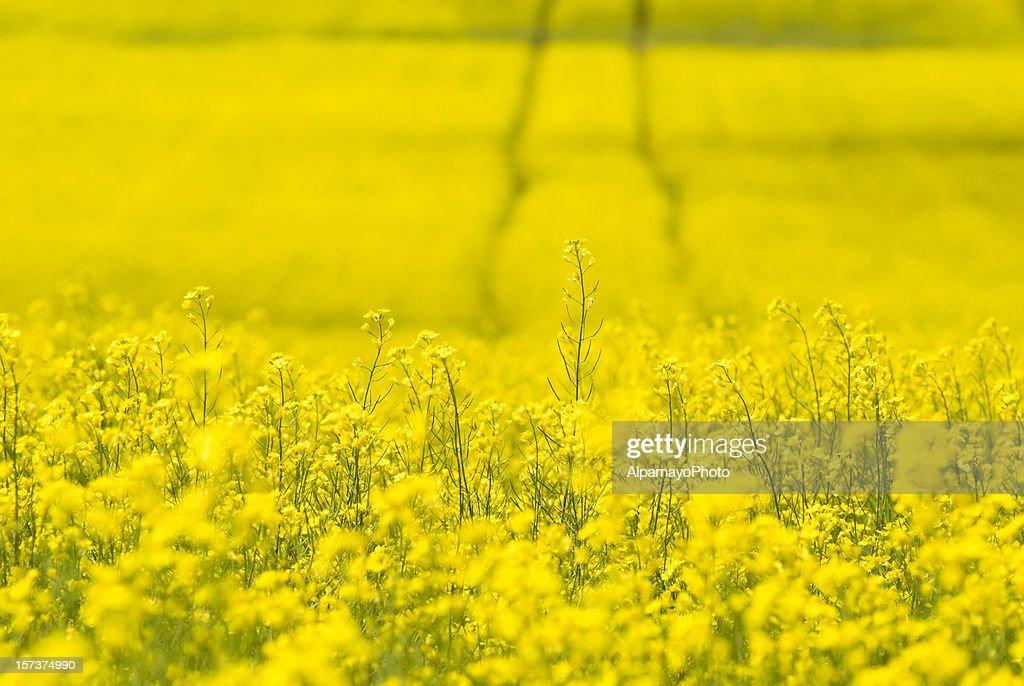 Tracks in Canola field - I : Stock Photo