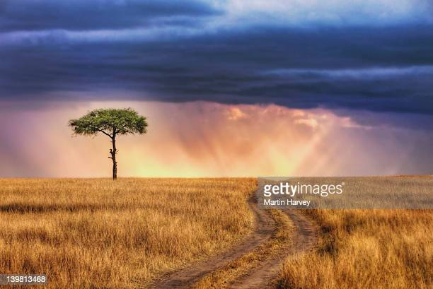 Tracks leading to lone tree on the plains of the Masai Mara National Reserve, Kenya, Africa