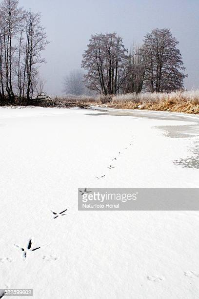 Tracks of Grey Heron and Red Fox in Snow