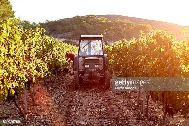 tractor between vines during harvesting process - viniculture stock pictures, royalty-free photos & images