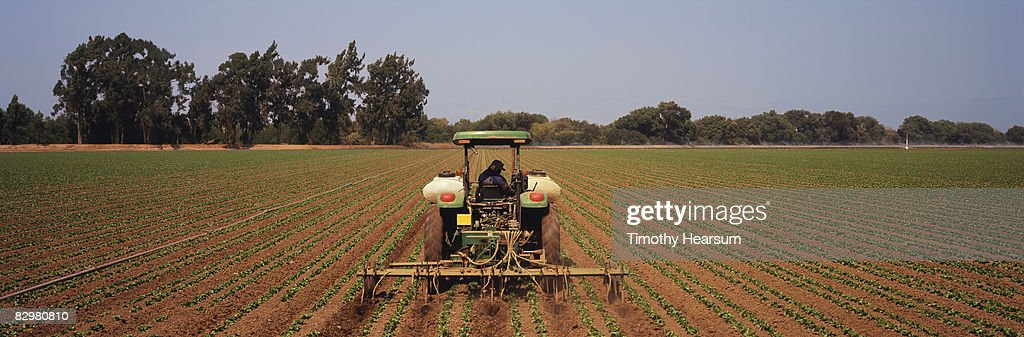 Tractor cultivating and fertilizing lettuce rows  : Stock Photo