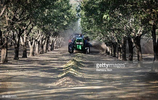 Tractor harvesting almonds down wind row