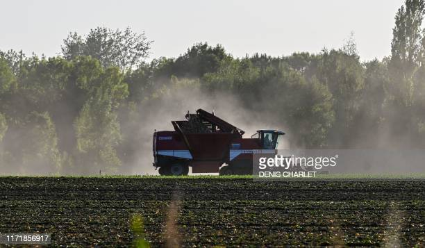 A tractor harvests suger beet on September 20 2019 in Vendin les Béthune North of France as the sugar beet harvesting season enters full swing the...