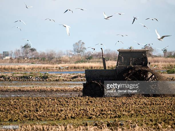 Tractor in a rice field with a flock of birds