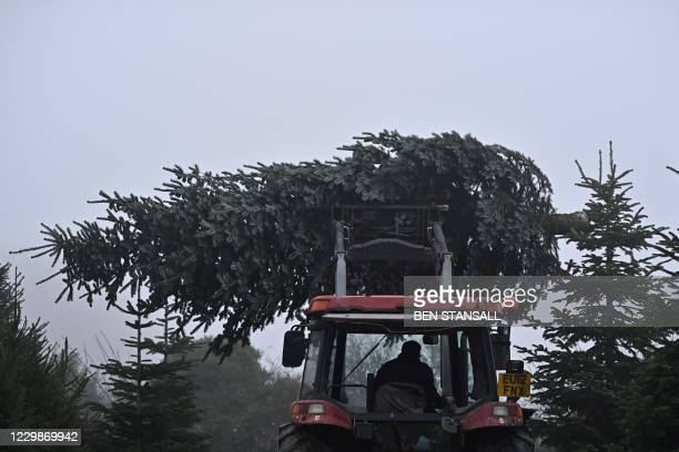 Tractor is used to remove a freshly harvested removal tree from the plantation at Pimms Christmas Tree farm in Matfield, south east England on...