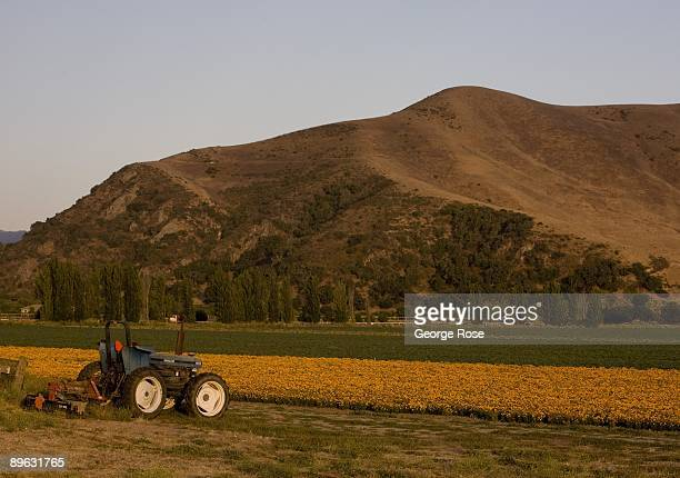 A tractor parked next to a field of marigold flowers take on an orange glow at sunset as seen in this 2009 Buellton Santa Barbara County California...