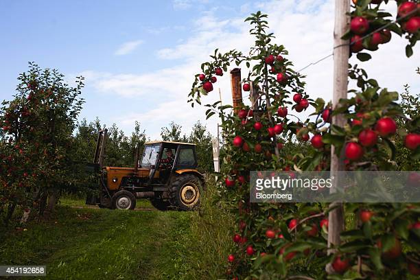 A tractor passes between rows of apples trees during the summer harvest at the Sady Trzebnica z oo apple farm in Trzebnica Poland on Monday Aug 25...