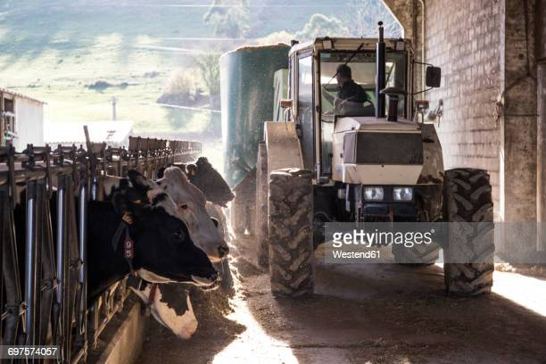 tractor pouring feed for cows on a farm - confined space stock pictures, royalty-free photos & images