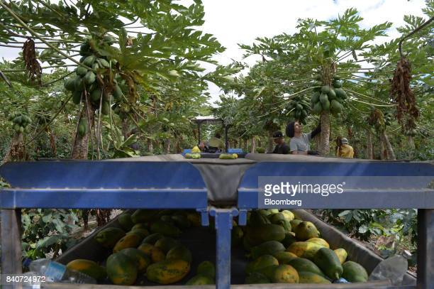 A tractor pulls a trailer filled with papaya through an orchard at the Skybury Coffee Pty papaya plantation in the Atherton Tablelands Queensland...