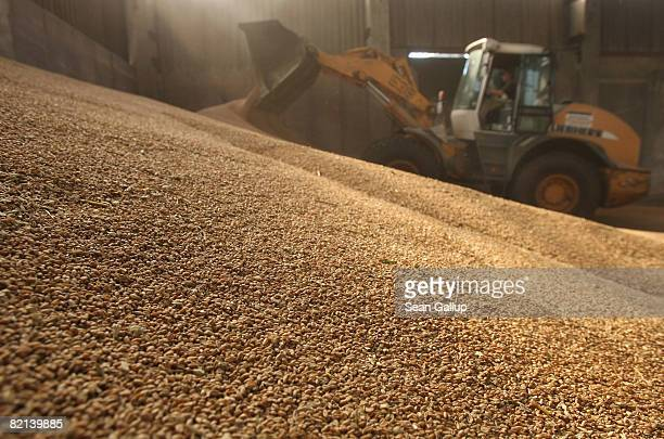 A tractor pushes freshly harvested wheat into a pile at a storage hall at a large scale commercial farm in Juehnsdorf on July 31 2008 near Berlin...