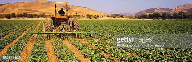 tractor tilling between rows of green leaf lettuce plants - timothy hearsum stock pictures, royalty-free photos & images