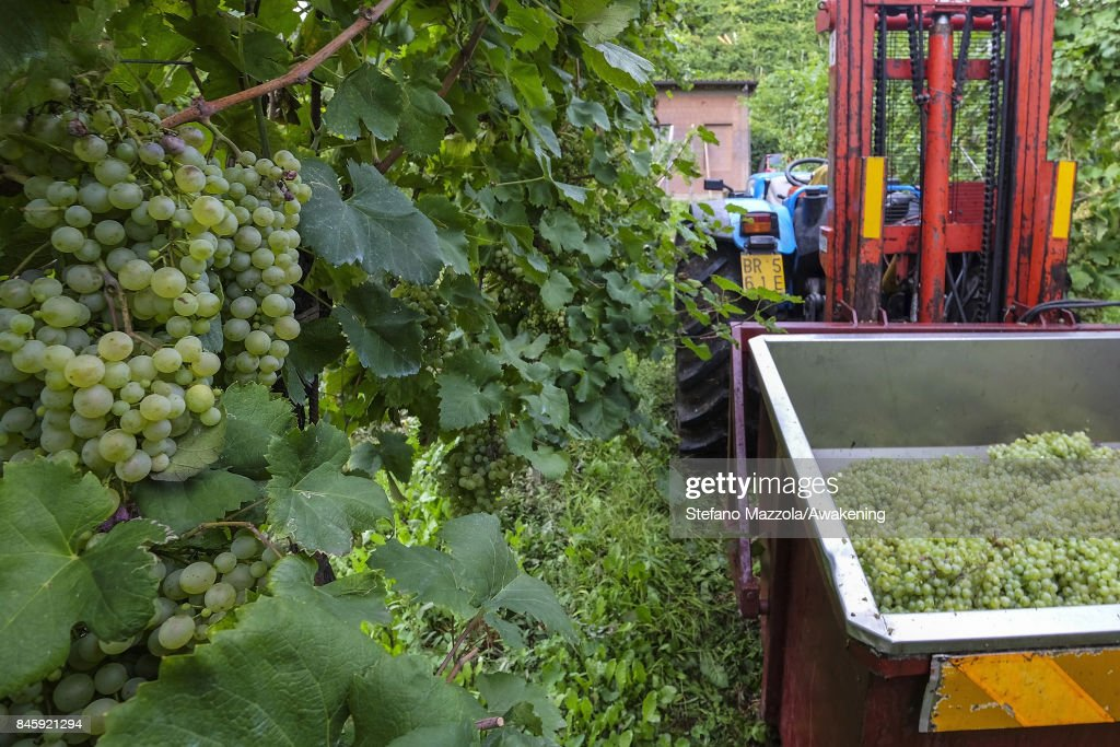 A tractor transports the grapes for Prosecco from the vineyard to the winery on September 11, 2017 in Treviso, Italy. According to Coldiretti, the Italian agricultural lobby, British buyers drank 40 million liters of Prosecco in 2016 and spent more than 350 million euros on it, representing approximately 30% market growth for the year.