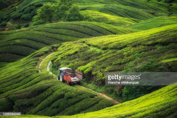 tractor working in tea plantation