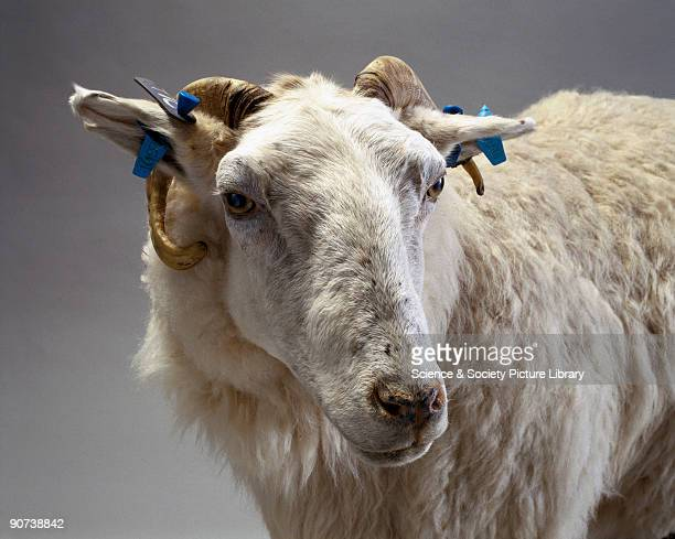 Tracy was a transgenic ewe that had been genetically modified by the Roslin Institute near Edinburgh Scotland so that her milk produced a human...