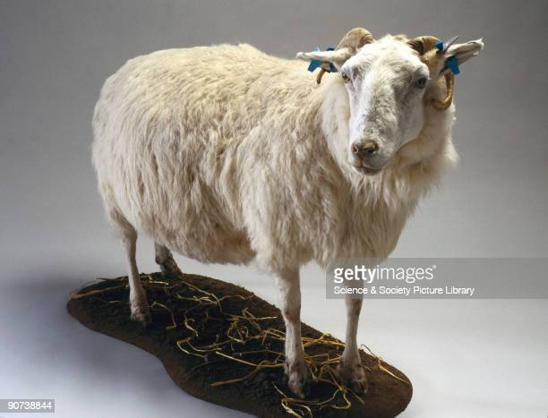 Tracy was a transgenic ewe that had been genetically modified by the Roslin Institute, near Edinburgh, Scotland, so that her milk produced a human...