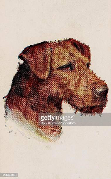 Trade cigarette cardColour illustration Circa 1900 Dogs Airedale Terrier
