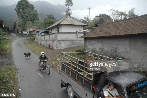 A trader bringing newly purchased cows from the villagers in Yeh Kori Hamlet Jungutan Karangasem Bali In November2017 2 Km from the summit of Mount...