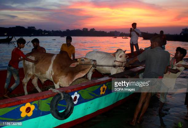 Traders offload cattle from a boat at Postogola in Dhaka on the bank of the Buriganga where a makeshift market of sacrificial animals has been set up...