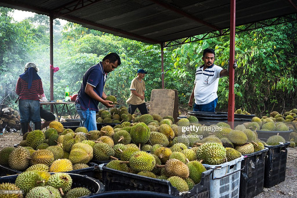 Traders sort the different quality and varieties of durians into crates at a road side stall in Titi in the district of Jelebu in Negeri Sembilan, Malaysia on Monday, July 13th 2015 in Johor, Malaysia. The Southeast Asian native fruit -- known for its sweet, custardy flesh and banned from Singapore's subways and hotels because of its pungent odor -- can retail for more than S$40 ($30) apiece in Singapore. Photographer: Sanjit Das/Bloomberg via Getty Images
