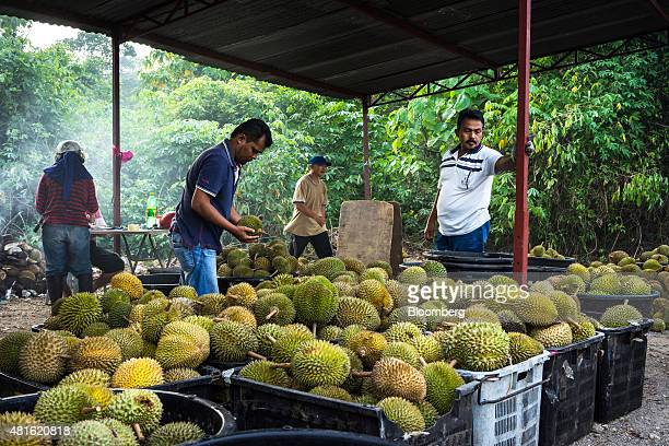 Traders sort the different quality and varieties of durians into crates at a road side stall in Titi in the district of Jelebu in Negeri Sembilan...