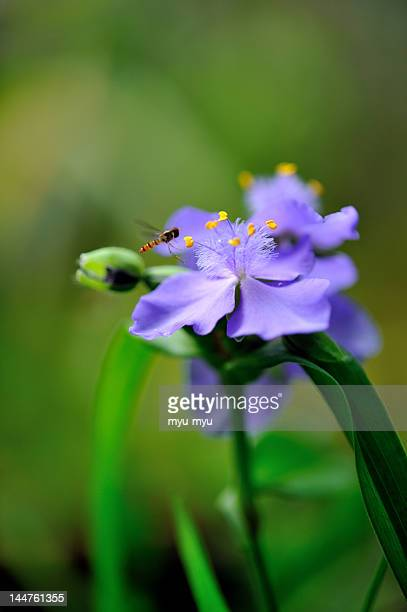Tradescantia with hover fly