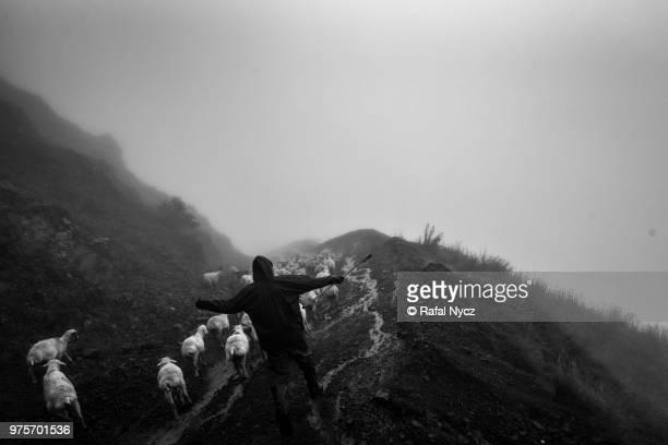tradition of transhumance in georgia - almabtrieb stock-fotos und bilder
