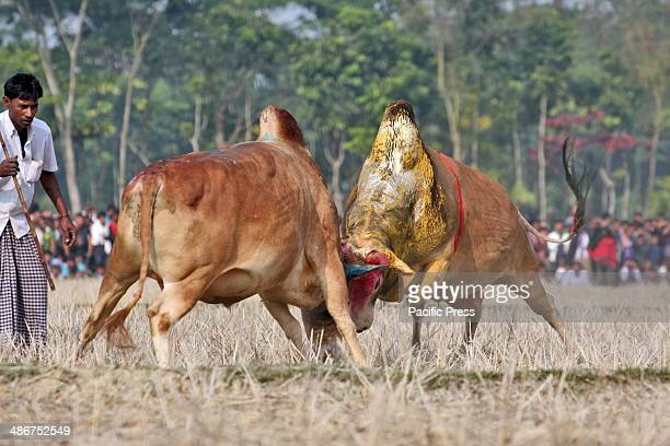 Traditional bull fighting in Bangladesh locally called Sharer Lorai and it is one of the most popular for rural peoples of Bangladesh Every year at...