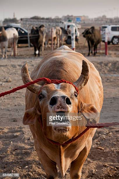 traditional bullfights, fujairah, dubai, uae - animal welfare stock photos and pictures
