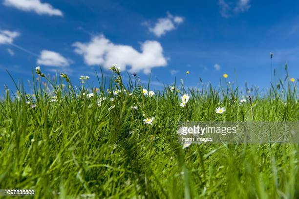 Traditional Dales upland meadow with pleny of herbs and wildflowers in. Yorkshire, UK.