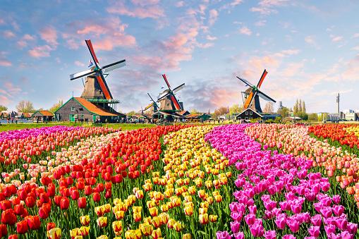 Traditional dutch windmills and houses near the canal in Zaanstad village, Zaanse Schans, Netherlands, Europe 937057490