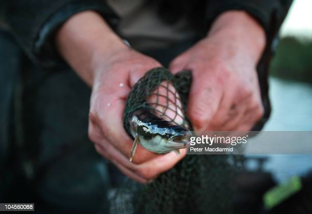 Traditional eel fisherman Peter Carter holds an eel at first light on September 30 2010 near Outwell England This is the last day of the eel fishing...