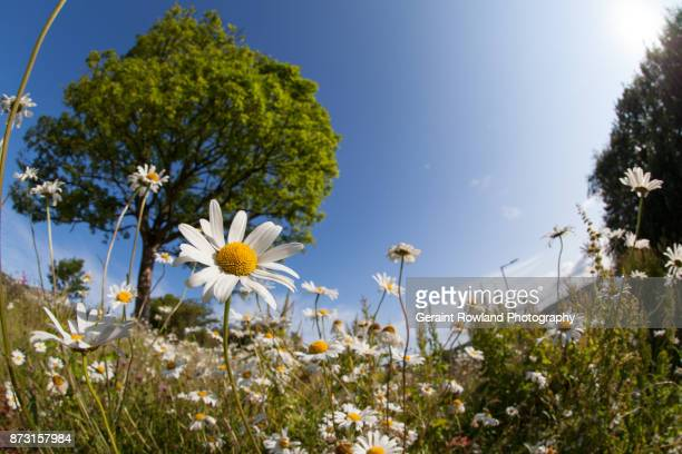 traditional english countryside - daisy stock photos and pictures