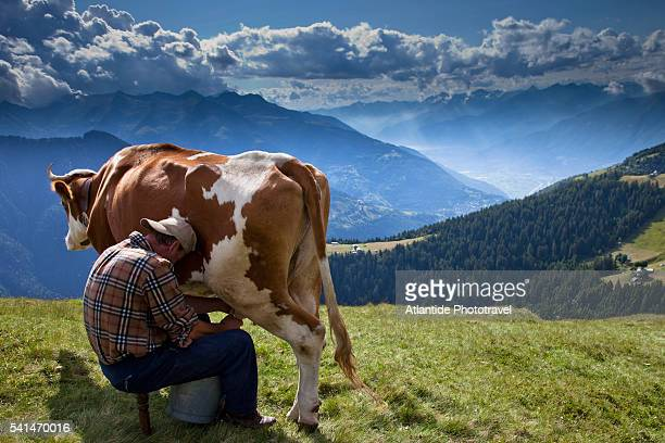 traditional hand milking of a cow on pasture - mann beim melken stock-fotos und bilder