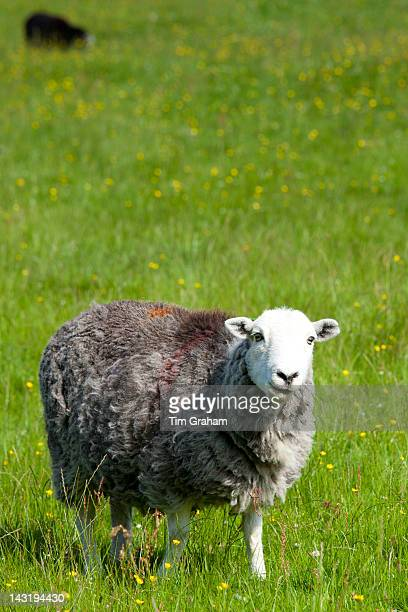 Traditional Herdwick sheep at Eskdale in the Lake District National Park Cumbria UK